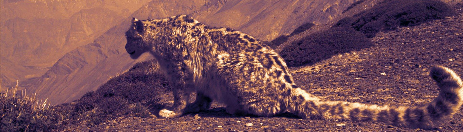 Snow leopard trek image